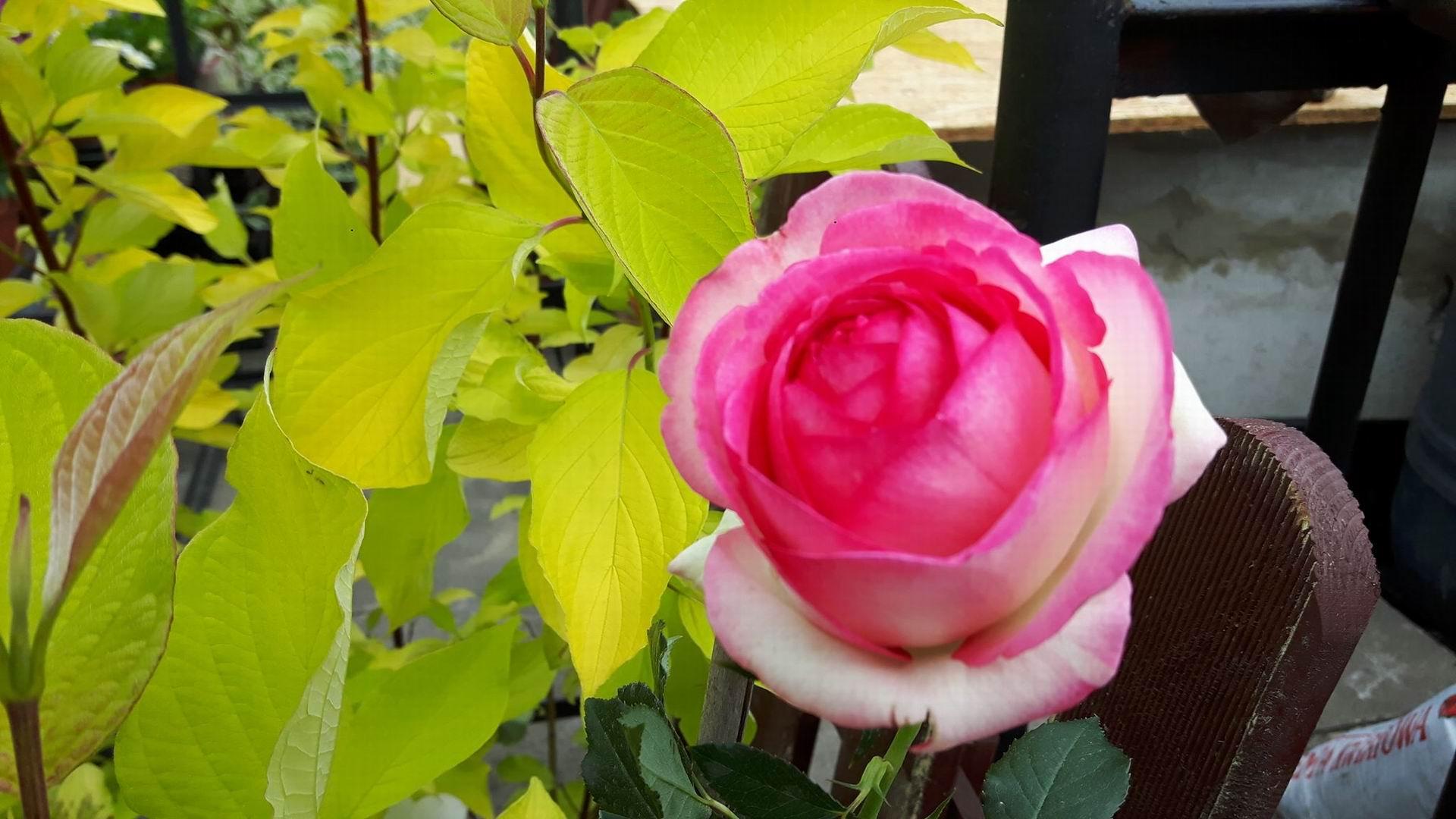 Nie tnijcie róż za wcześnie
