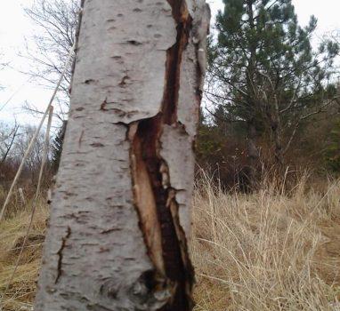 Czy masz pobielone drzewa owocowe?